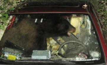Bear takes car for joyride
