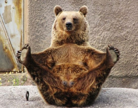 Yoga is a bear necessity for this beast (Photo: Meta Penca/BNPS)