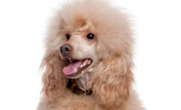 Runaway poodle disrupts commuter trains..