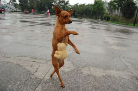 Miniature pinscher Lu Lu, who prefers walking on her hind legs (Picture: Rex Features)
