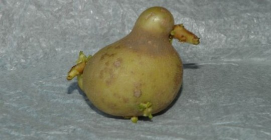 This duck-shaped potato is a chip off the old block (Exclusivepix)
