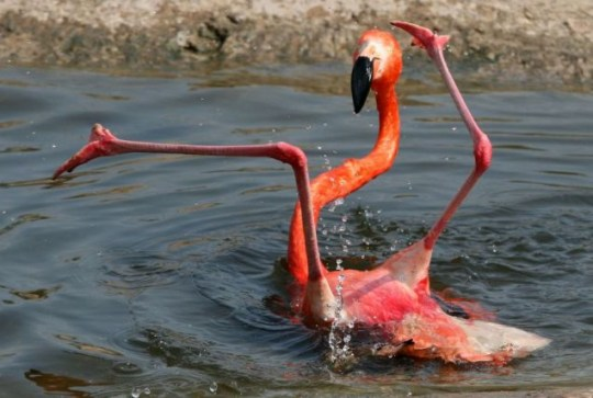 Confused flamingo's epic fall from grace | Metro News