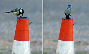Great tit family make nest in traffic cone