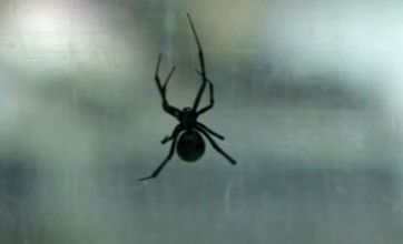 Deadly black widow spider found at UK port is pregnant – with 450 babies