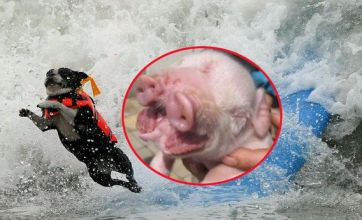 Pig with two snouts v surfing dog competition: Freak Out