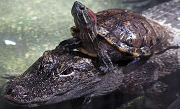 Hi-ho silver! Turtle rides alligator across pond at Cincinnati Zoo