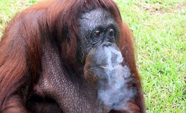 Smoking orangutan forced to quit by Malaysian rescuers