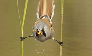 Bearded tit does the splits while catching dinner in stream
