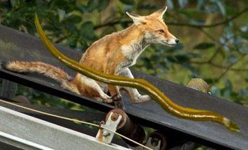 Grinning fox on a slide v eel in a penis: Freak Out