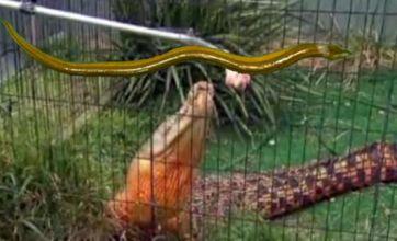 Eel up a penis v Crocodile turns himself orange