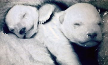 David Attenborough defends Frozen Planet 'fake' polar bear cub scenes