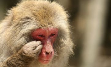 Macaques in agony as they're struck down with hay fever