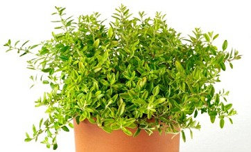 Thyme 'could be more effective way of treating acne than medicated creams'