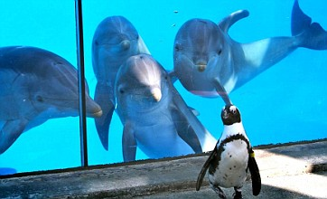 Voyeuristic dolphins take a shine to carefree African penguin
