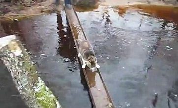 Cunning cat determined not to get wet while crossing river