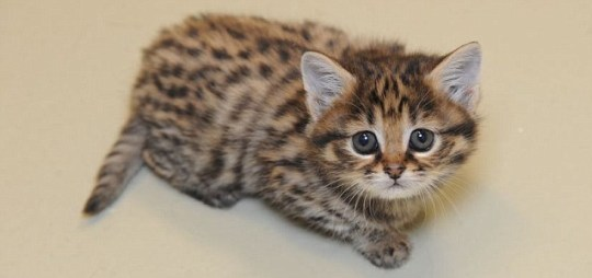 Crystal the African black-footed cat
