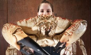 Escape claws: Giant crab rescued from Australian cooking pot