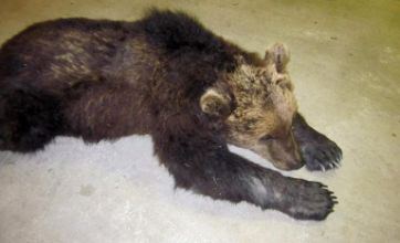 Accident-prone 'Yogi Bear' injured in train smash