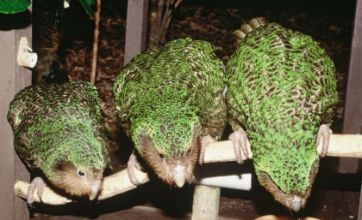 Dying kakapo refuses to go the way of the dodo and stages a comeback