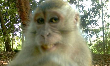Smiling monkey's cheeky grin is captured on 'hidden' jungle camera