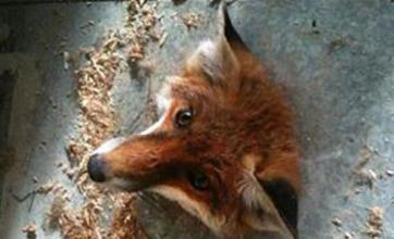 RSPCA rescues 'embarrassed' fox with head trapped in floor