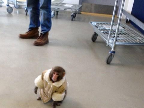 Dapper monkey found 'abandoned' in Ikea store in Toronto