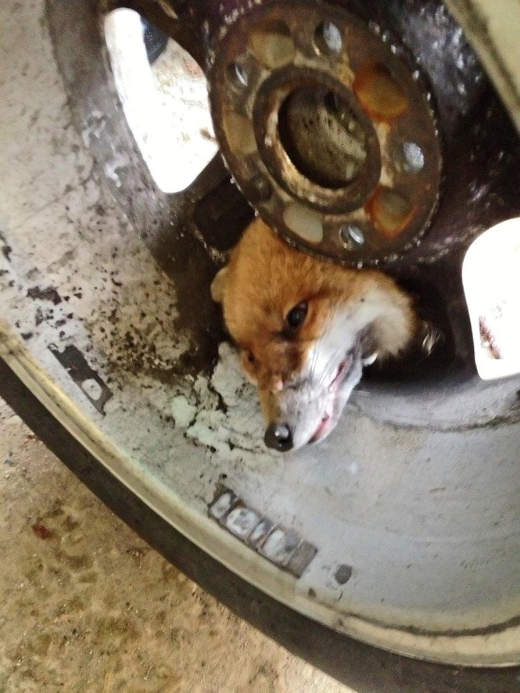 Not so fantastic Fox gets his head stuck in car wheel