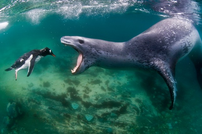 A leopard seal reaches to bite a penguin