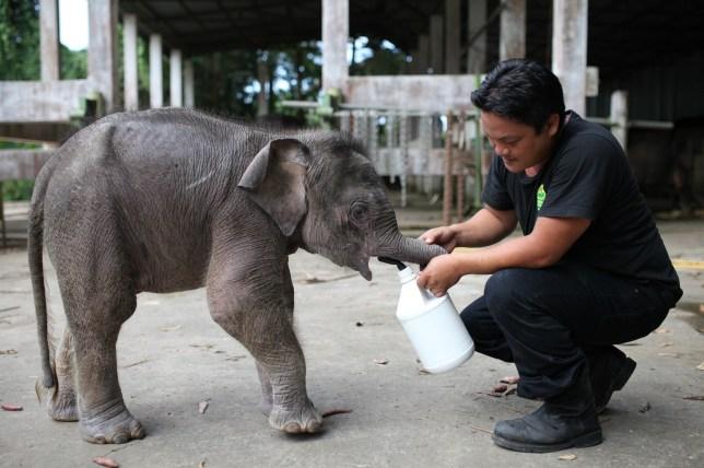 Pygmy elephant Joe survive poisoning in Malaysia
