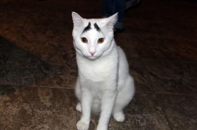 Cat with worried eyebrows
