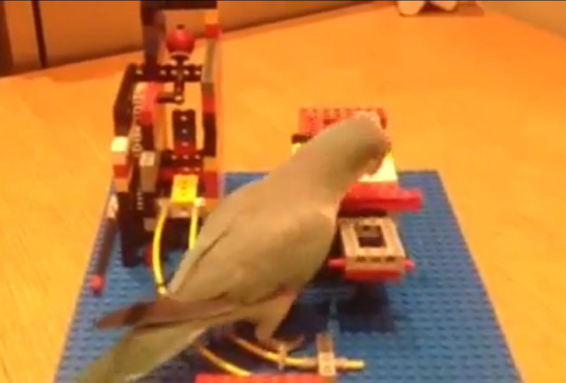 Pet bird solves illusionist Derren Brown's Lego puzzle