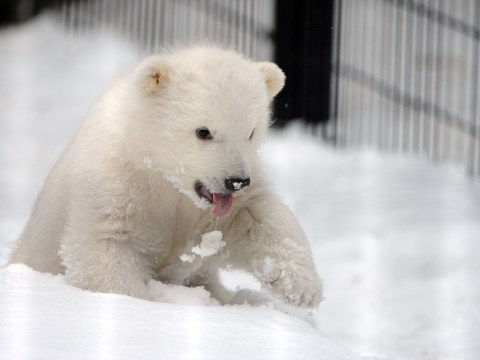 Orphaned polar bear cub melts zoo workers' hearts