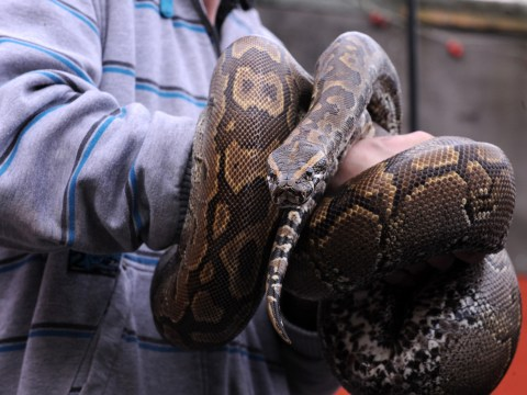 Things not to do if drunk (No.1): Buy a 10ft python