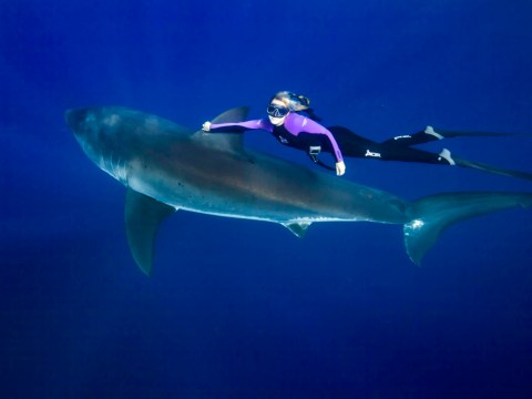 Model Ocean Ramsey dispelling myths by diving with great white sharks