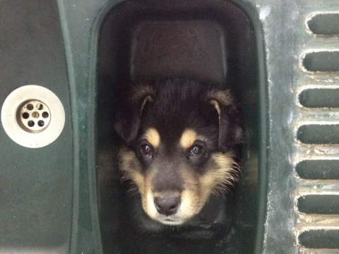 Tyson the puppy gets head stuck in plughole