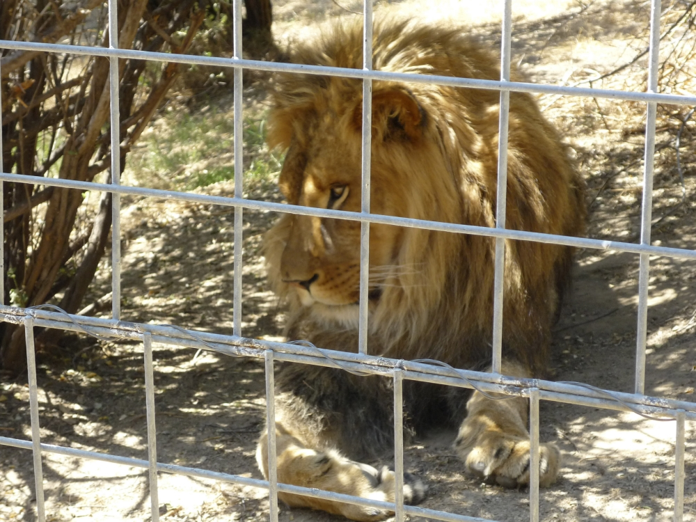 Lion mauled teenager kissing it