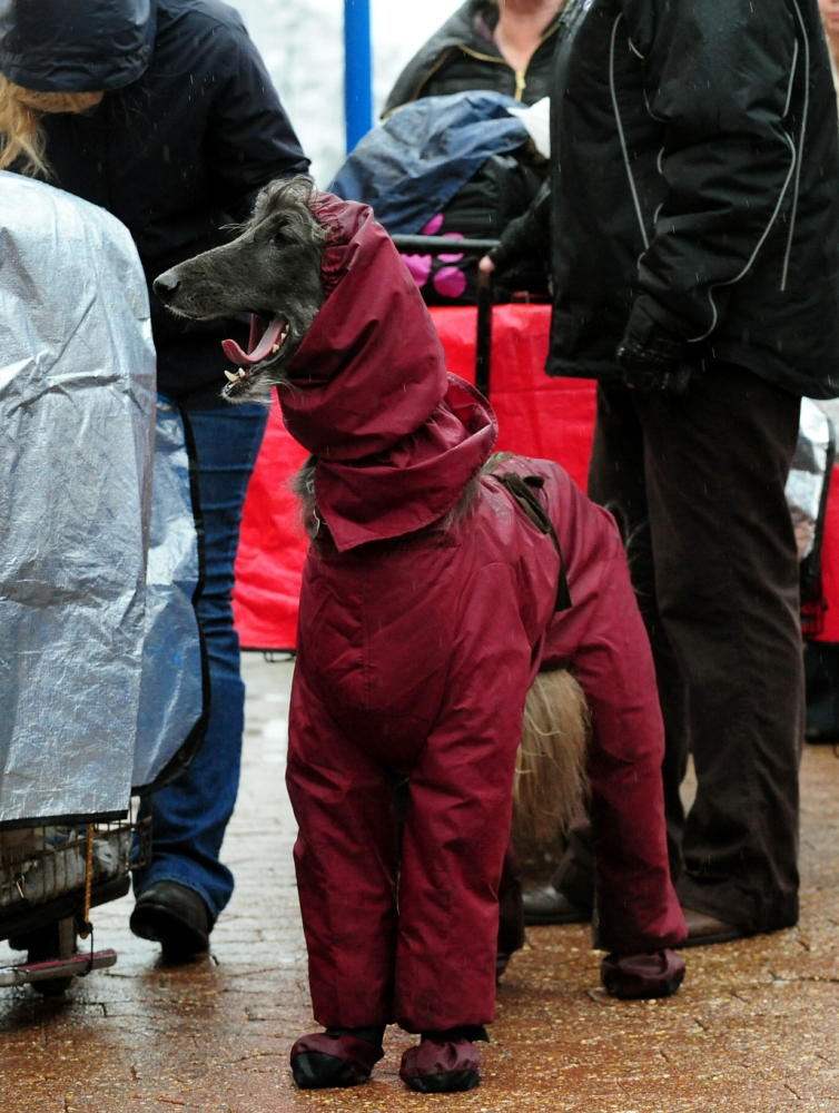 An Afghan dog arrives wearing a coat on the first day of Crufts 2013 at the NEC, Birmingham. PRESS ASSOCIATION Photo. Picture date: Thursday March 7, 2013. See PA story ANIMALS Crufts. Photo credit should read: Rui Vieira/PA Wire