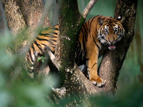 Headless body of farmer found on plantation after attack by rare Sumatran tiger