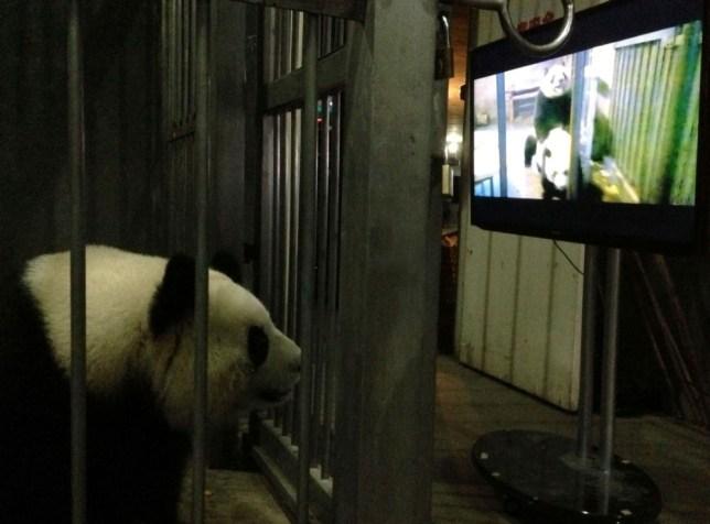 Ke Lin watches panda porn in Chengdu, Sichuan Province, China