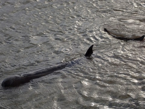 Tests on dead whale found floating in Thames