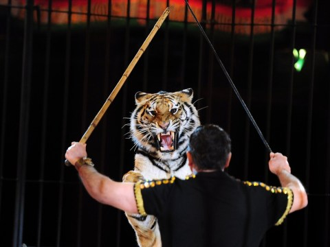 Women comes face to face with escaped circus tiger in bathroom