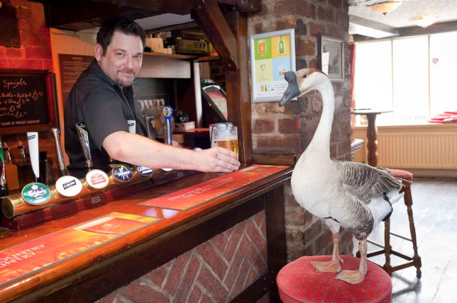 Jack the goose