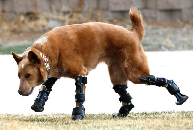 Naki'o, a mixed-breed dog