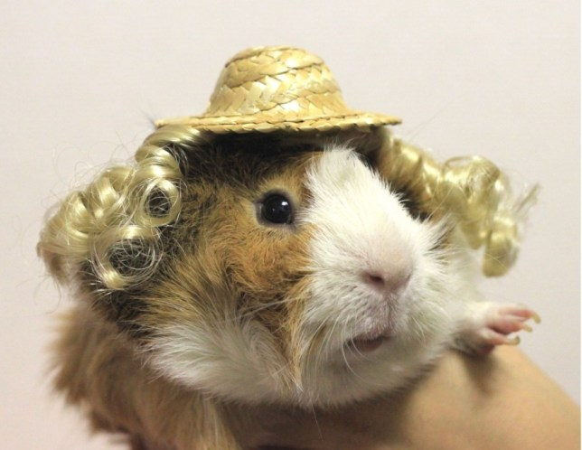Guinea Pig Fashion
