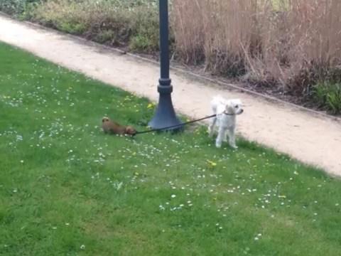 Little dog takes big dog for walk… fails