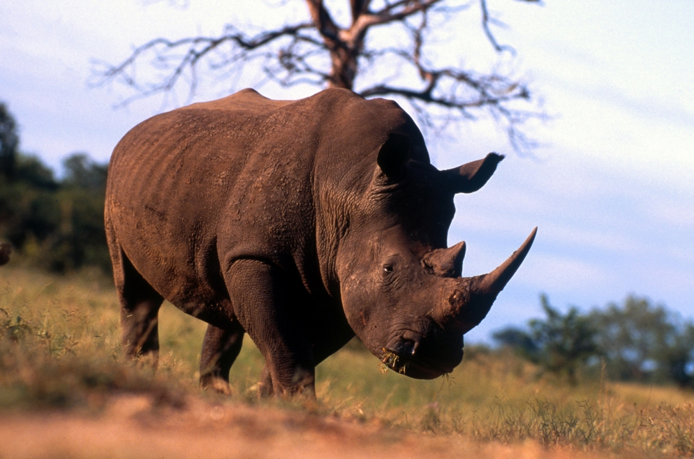 Revealed: The British criminals flagrantly touting illegal rhino horn online