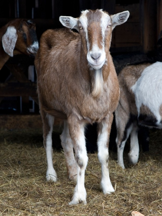 Goats, detained by police