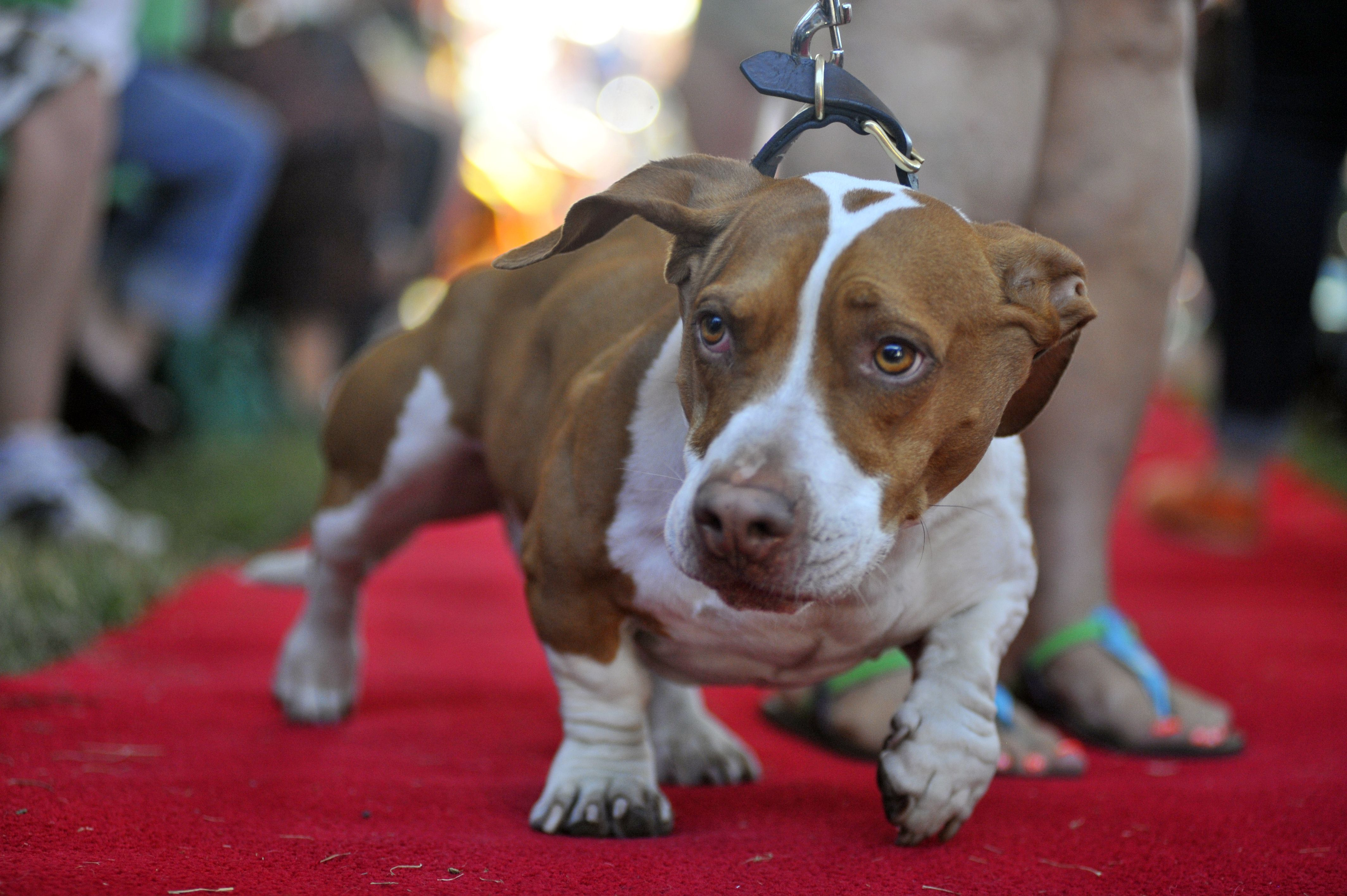Gallery: Odd-looking mutt Walle wins world's ugliest dog contest