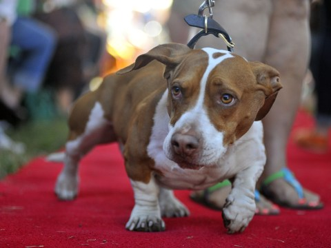 Gallery: Odd-looking mutt Walle wins world's ugliest dog contest