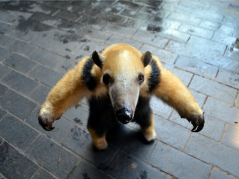 A-list anteater gets own minder at London Zoo